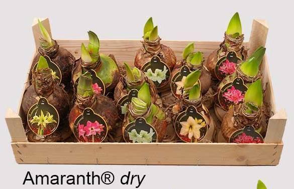 Amaranth Dry