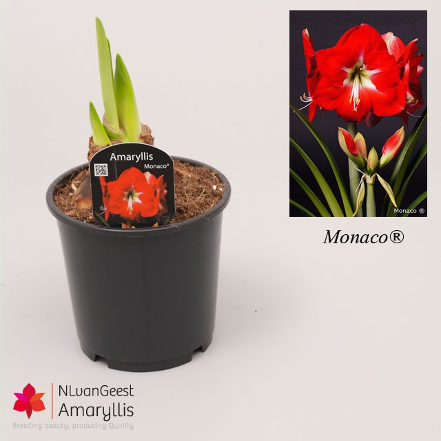 Pot amaryllis amaryllisamaryllis for Pot amaryllis