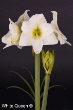 Amaryllis White Queen