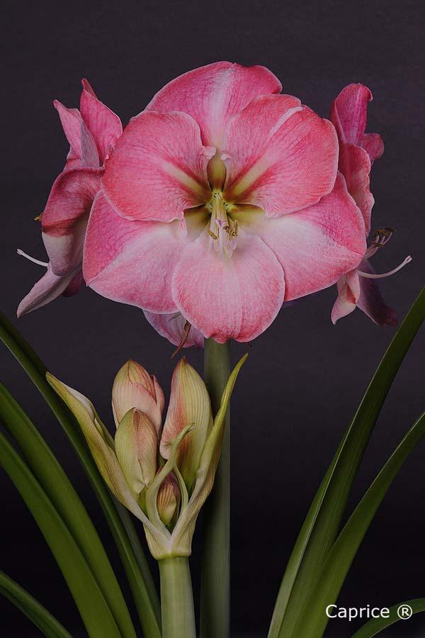 Gro blumig amaryllisamaryllis for Amaryllis sweet pink