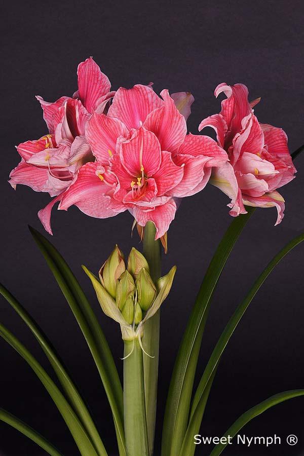 Double flowered amaryllisamaryllis for Amaryllis sweet pink