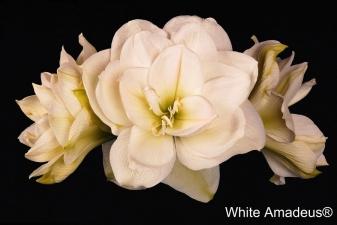 White-Amadeus