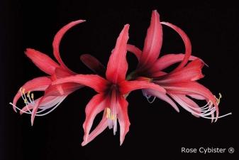 Rose Cybister