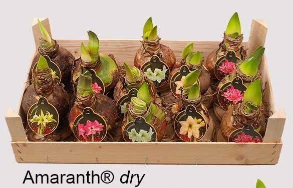Amaryllis wholesale