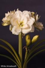 Amaryllis White Amadeus