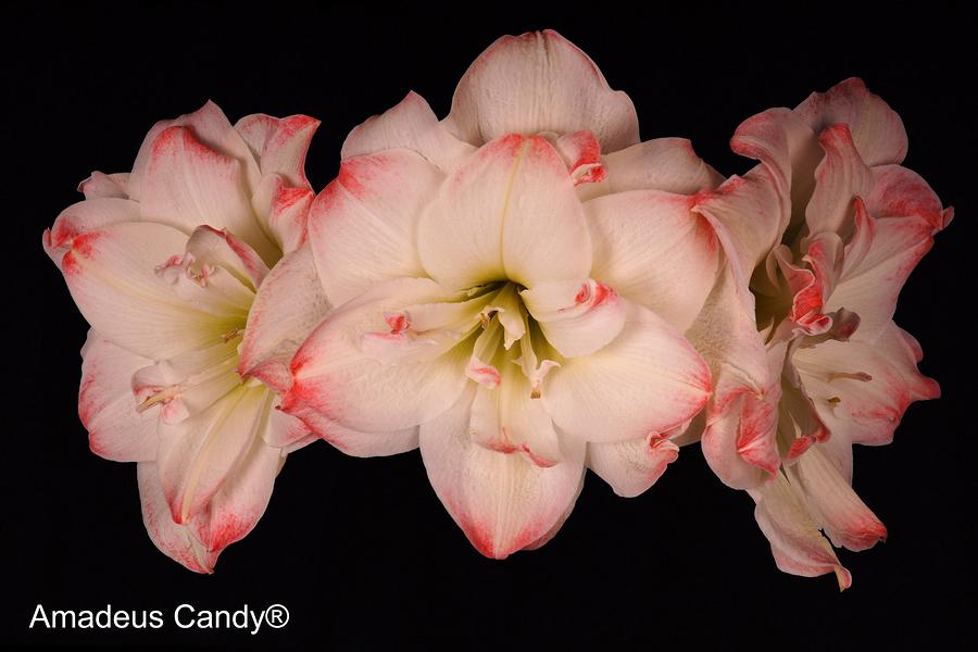 Amadeus Candy Amaryllis