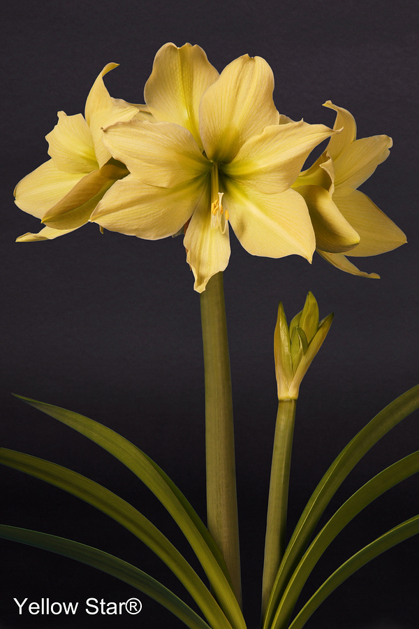 Yellow Star amaryllis